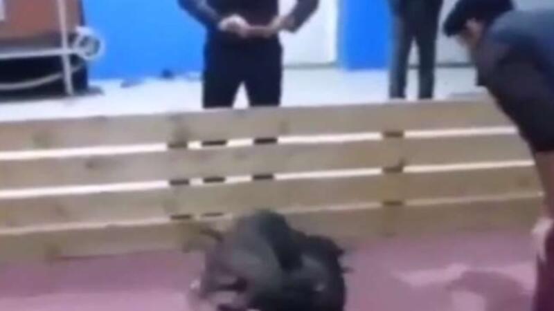 Azərbaycanda VƏHŞİLİK: Narkotik iynə vuraraq itləri bir-birlərinə yedirdirlər - VİDEO